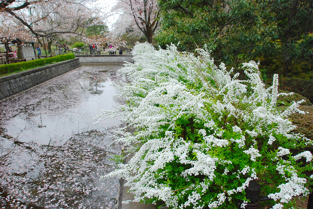 Thunbery spirea blooming in a moat floating cherry blossoms